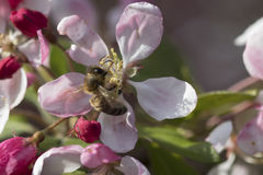 Busy bee on beautiful crabapple blossom. The crabapple trees are in bloom and the bees are out! This little honeybee is collecting nectar and pollinating as he Stock Photo