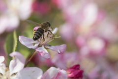 Busy bee on beautiful crabapple blossom. The crabapple trees are in bloom and the bees are out! This little honeybee is collecting nectar and pollinating as he Royalty Free Stock Photo