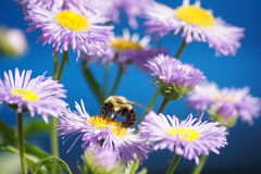 Busy Bee Royalty Free Stock Images