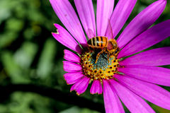 Busy Bee Stock Image