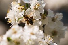 Busy bee carrieing pollen from tree flower stock images