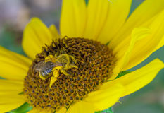 Busy Bee Collecting Pollen From A sunflower Stock Photos