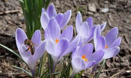 Busy bee and crocus flowers royalty free stock image