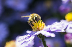 Busy bee Royalty Free Stock Photography
