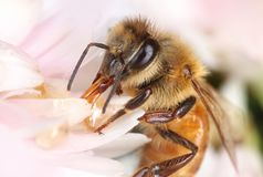 Bee feeding in light pink flower. Busy bee feeding nectar in light pink flower, macro close-up stock image