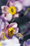 Busy Bee. A bee flying to a flower Royalty Free Stock Photography