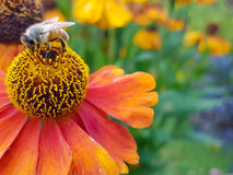 Busy Bee. Bee garden flower nectar summer Stock Photo