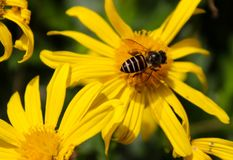 BEEsy Hard worker royalty free stock photography