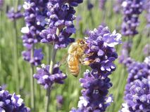 Busy Bee Royalty Free Stock Photo