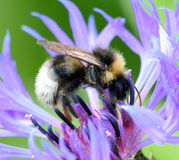 Busy Bee. Royalty Free Stock Photo