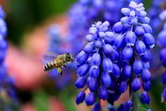 Busy Bee between Muscari Neglectum Stock Images