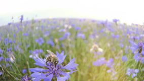 A busy bee is pollinating a blue knapweed meadow flower in the summer field without people Close up view slow mo video. Closeup slo motion video of a busy bee stock image