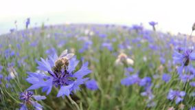 A busy bee is pollinating a blue knapweed meadow flower in the summer field without people Close up view slow mo video. Closeup slo motion video of a busy bee royalty free stock photo