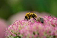 Busy bee Royalty Free Stock Image