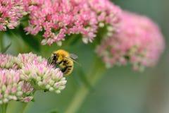 Busy bee Stock Photos