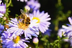 Busy bee is sitting on the violet blossom Stock Images