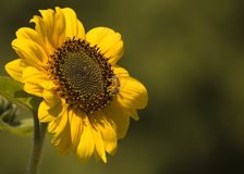 Busy Bee on Sunflower Stock Images