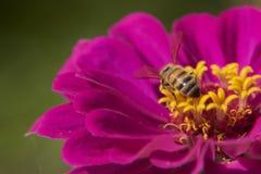Busy Bee on Zinnia Stock Photo