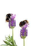 Busy Bees Stock Photo