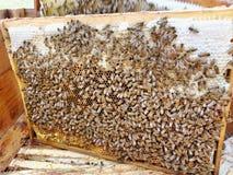 Busy bees. Stock Photos