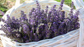 Busy Bees In Basket of Lavender Stock Photos