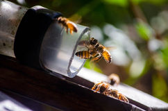 Busy bees Royalty Free Stock Photography