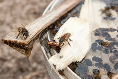 Bees close up showing some animals drinking water. Busy bees, close up view of the working bees. Bees close up showing some animals drinking water stock images