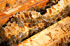 Busy bees, close up view of the working bees on honeycomb. Bees close up showing some animals and honeycomb structure royalty free stock photography