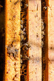 Busy bees, close up view of the working bees on honeycomb. Bees close up showing some animals and honeycomb structure Stock Image