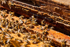 Busy bees, close up view of the working bees on honeycomb. Bees close up showing some animals and honeycomb structure Royalty Free Stock Images