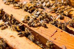 Busy bees, close up view of the working bees on honeycomb. Royalty Free Stock Photography