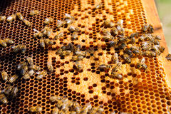 Busy bees, close up view of the working bees on honeycomb. Royalty Free Stock Photo