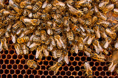 Busy bees, close up view of the working bees on honeycomb. Royalty Free Stock Images