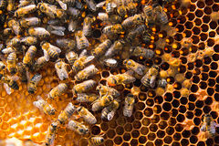 Busy bees, close up view of the working bees on honeycomb. Stock Photos