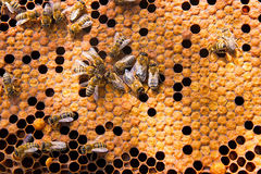 Busy bees, close up view of the working bees on honeycomb. Royalty Free Stock Image