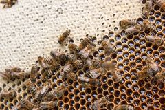 Busy bees, close up view of the working bees on honeycomb. Bees close up showing some animals and honeycomb structure stock photo