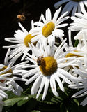 Busy bees on daisys. stock image