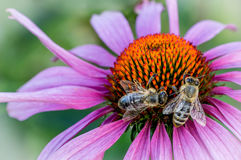 Busy bees. On Echinacea purpurea royalty free stock photography
