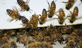 Busy Bees. European honeybees swarm into their hive. The bee to the left of center has legs covered in pollen, ready to be transformed into honey Royalty Free Stock Photos