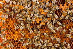 Busy bees inside hive with sealed cells for their young. Busy bees inside hive with open and sealed cells for their young. Birth of o a young bees. Close up Stock Images