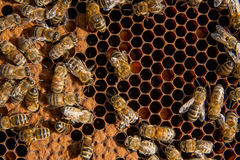 Busy bees inside hive with sealed cells for their young. Busy bees inside hive with open and sealed cells for their young. Birth of o a young bees. Close up Stock Photo