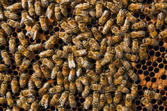 Busy bees inside hive with sealed cells for their young. Stock Image