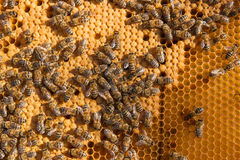 Busy bees inside hive with sealed cells for their young. Stock Photo