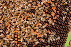 Busy bees inside hive with sealed cells for their young. Royalty Free Stock Photo