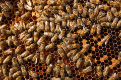 Busy bees inside hive with sealed cells for their young. Stock Photography