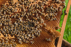 Busy bees inside hive with sealed cells for their young. Royalty Free Stock Images