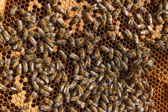 Busy bees inside hive with sealed cells for their young. Royalty Free Stock Photography