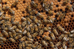 Busy bees inside hive with sealed cells for their young. Busy bees inside hive with open and sealed cells for their young. Birth of o a young bees. Close up Royalty Free Stock Images