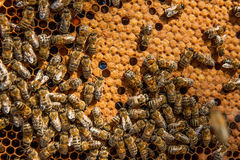Busy bees inside hive with sealed cells for their young. Busy bees inside hive with open and sealed cells for their young. Birth of o a young bees. Close up Royalty Free Stock Photography