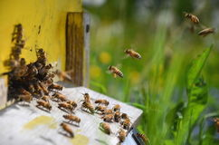 Busy bees returning with honey and pollen in apiary Stock Images